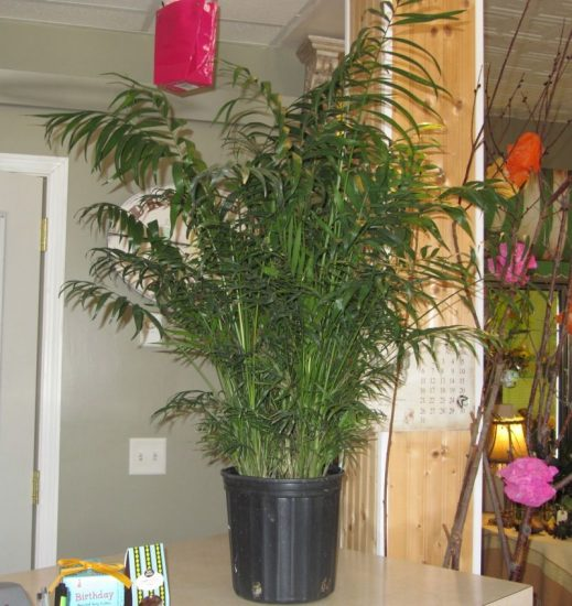 Palm Plant - Sweet Lily's