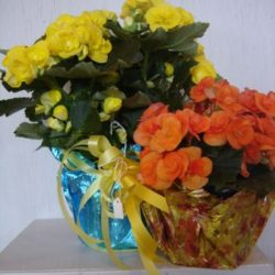Begonias - Sweet Lily's